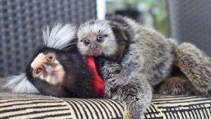 Die Mini-Affen sind los: Das Netz liebt Diddy und Yeti Kong!