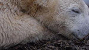 """Skulptur mit Eisbär Knuts Fell ist """"geschmacklos"""""""