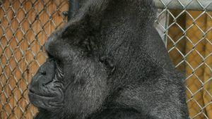 Celebrity-Liebling Koko tot: Gorilla-Dame wurde 46 Jahre alt