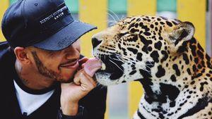 Jaguar-Kuss: Formel-1-Star Hamilton hautnah mit Raubkatzen!