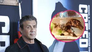 """Sylvester Stallone hat die """"Rocky""""-Schildkröten bis heute!"""