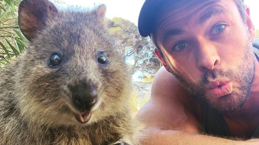 Chris Hemsworth mit einem Quokka auf Rottnest Island (Australien)