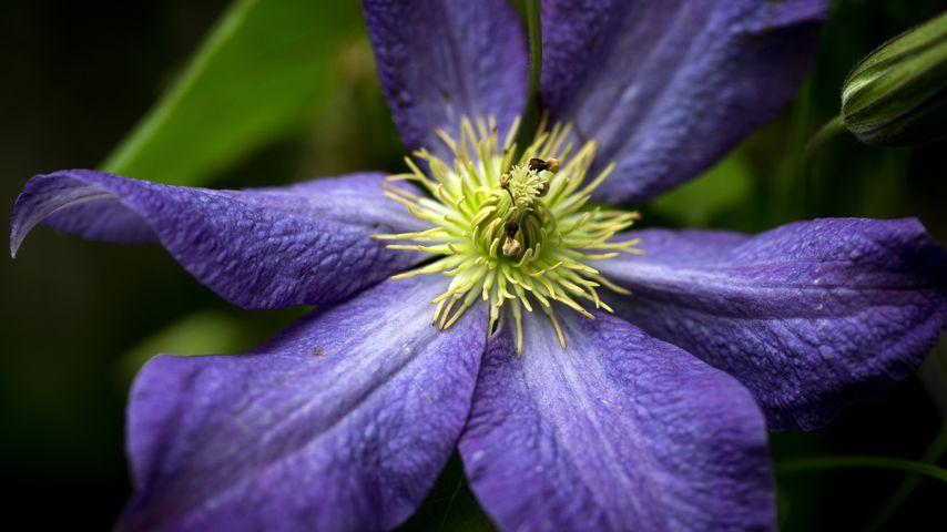 Die Blüte einer Klematis oder auch Waldreben