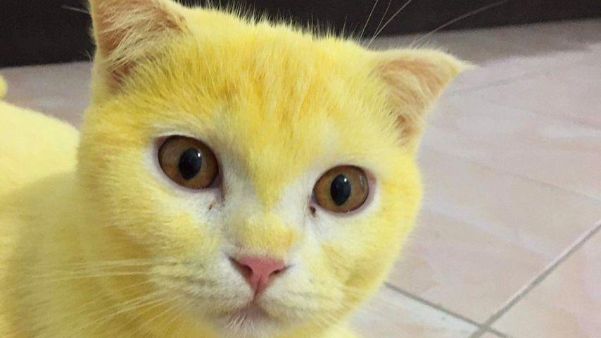 Pikachu, bist du's? Gelbe Katze wird zum gefeierten Netz-Hit