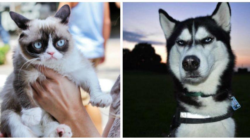 Tschüss Grumpy Cat! Hier kommt der grummlige Hund Anuko