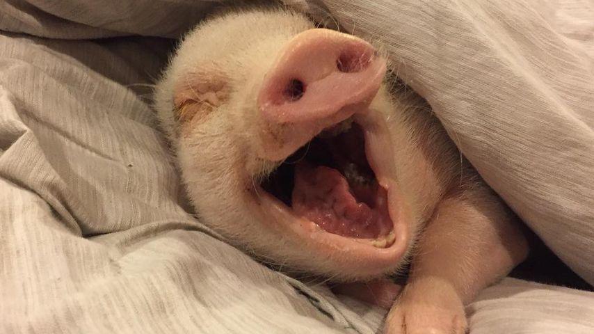 Neues vom müden Hank: Das Star-Schwein schnarcht sooo süß!
