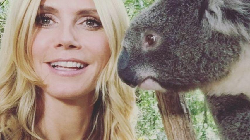 Koala-Kuschelei: Heidi Klum wagt Dschungel-Flirt