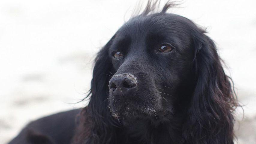 Lupo, der Hund von Herzogin Kate und Prinz William