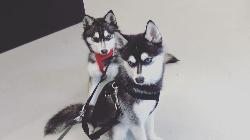 Waldo und Porky, Hunde von Joe Jonas und Sophie Turner