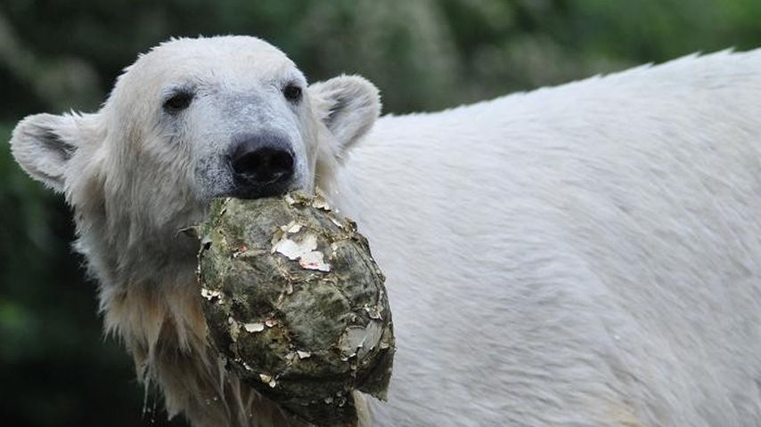 Knut im Jahr 2010