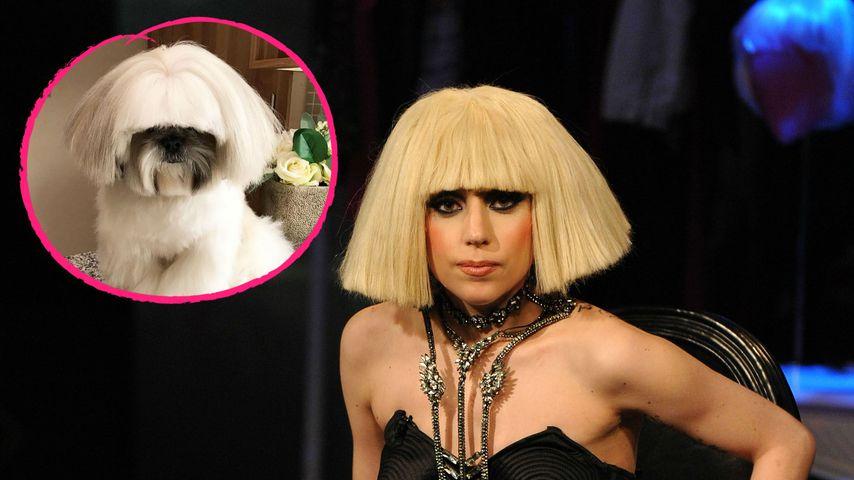 Hund mit Lady-Gaga-Frisur: Bontenmaru wird zum Web-Star!