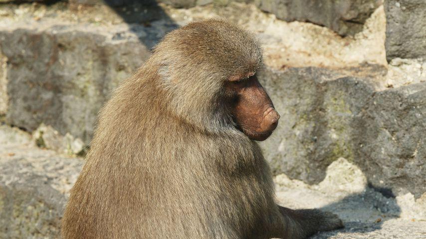 Nach Brand im Krefelder Affenhaus: Alle Tiere sind tot!