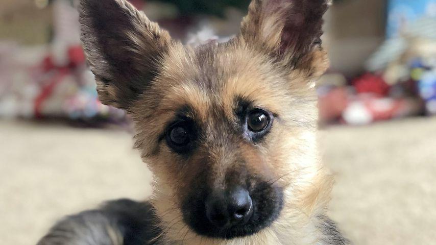 Für immer ein Welpe: Schäferhund Ranger verzaubert das Netz